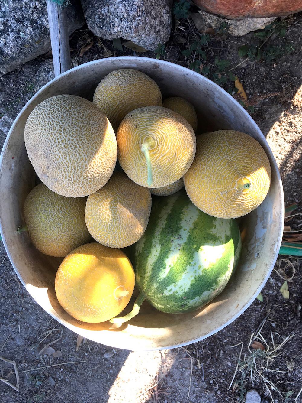 watermelon melon