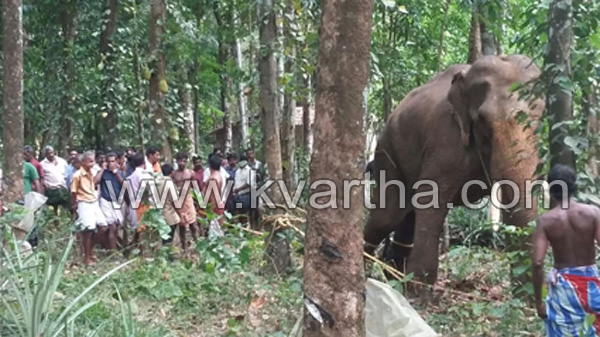 News, Kerala, Death, Elephant attack, Hospital, Police,Fire force, Elephant attack in Melukave,one died