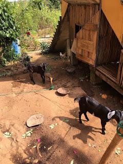 goats house