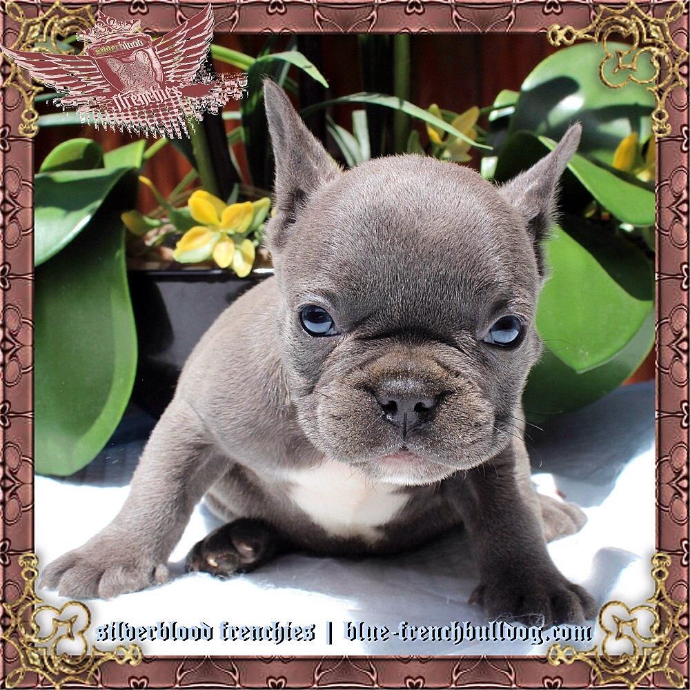 Blue Pit Bull Puppies for Sale | Bluenose Pitbulls