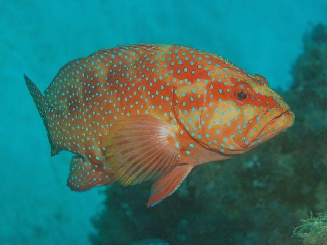 Ikan Kerapu sunu