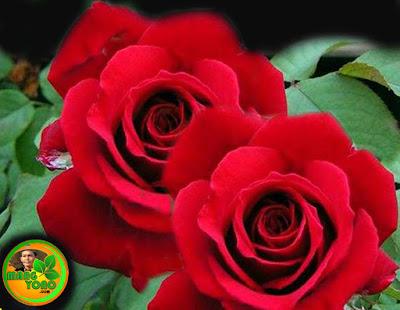 Cara Menanam dan Merawat Tanaman Hias Bunga Mawar Agar Rajin Berbunga