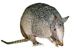 Tatu Galinha (Dasypus novemcinctus)