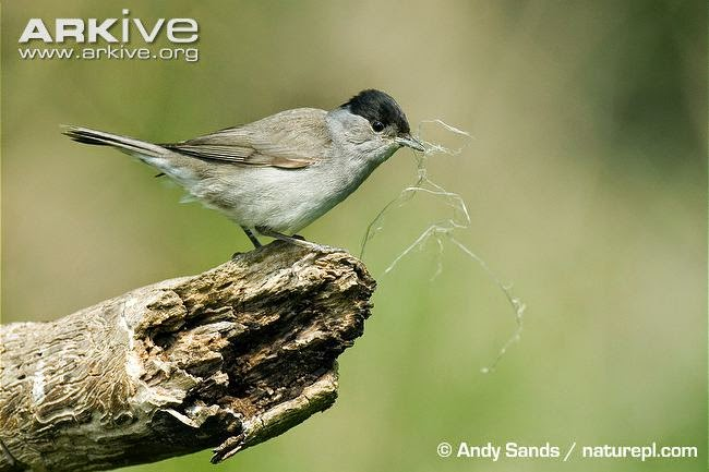 Blackcap european birds