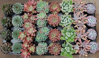 jual-tanaman-sukulen-murah.jpg