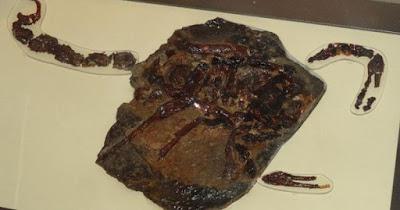 Fósil Pulmonoscorpius
