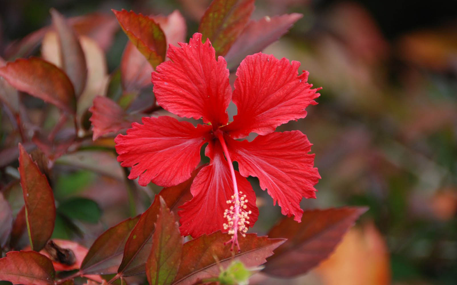 Free 3D Wallpapers Download  Hibiscus Flowers Wallpapers Hibiscus Flowers Wallpapers
