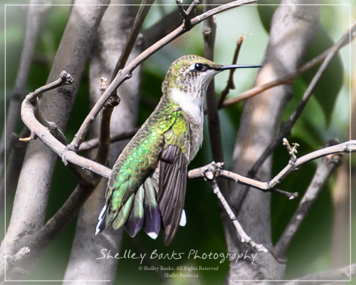 Ruby-throated Hummingbird. Copyright © Shelley Banks, All Rights Reserved.