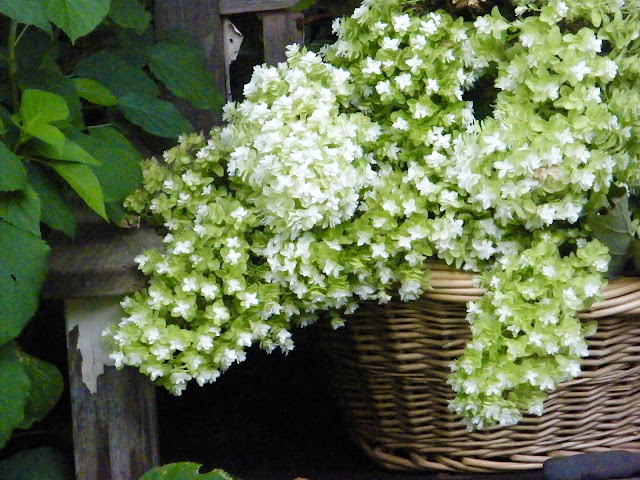 Huge panicles of Oak Leaf Hydrangea blooms in basket ready for drying.