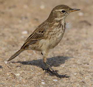 Water pipit  song mp3
