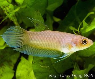 Jenis Ikan Cupang Spesies Betta Hipposideros