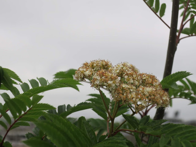 Flowers of Mountain Ash. (Rowan) I think!
