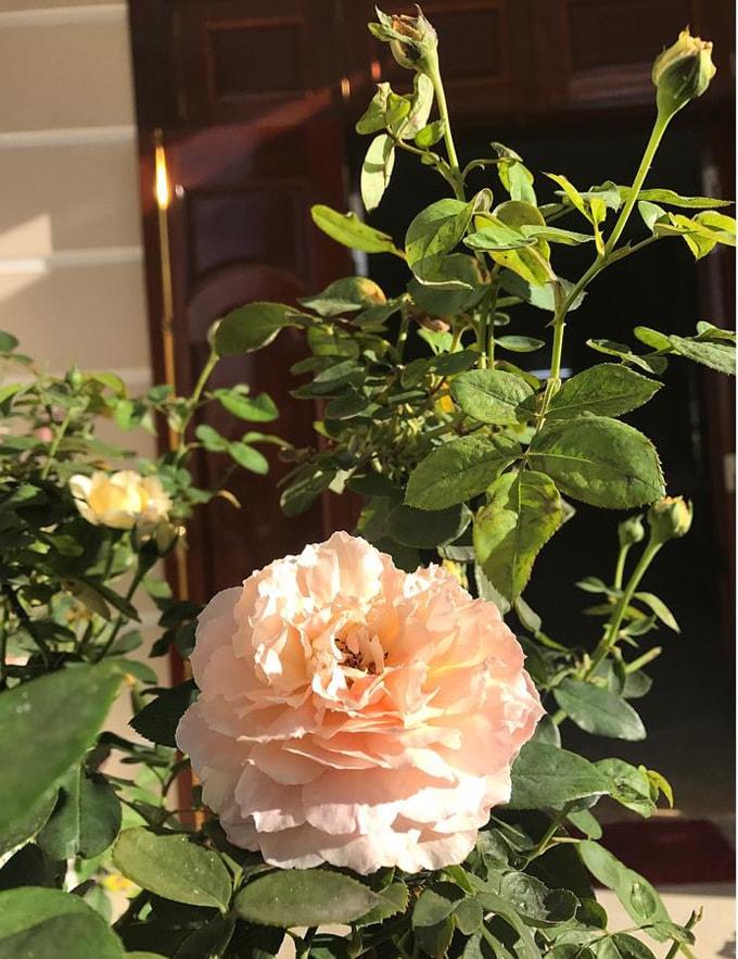Sân vườn 50 m2 phủ kín hoa hồng của bà mẹ Hòa Bình -9