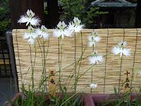 坐摩神社のサギソウ