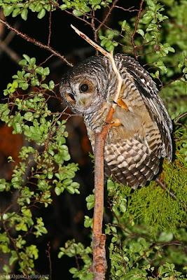 patagonian owls