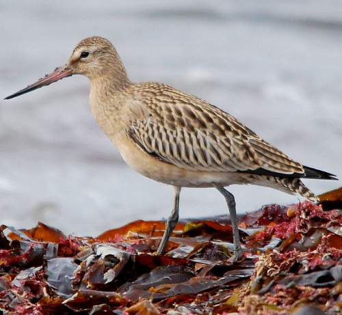 Indian birds - Image of Bar-tailed godwit - Limosa lapponica