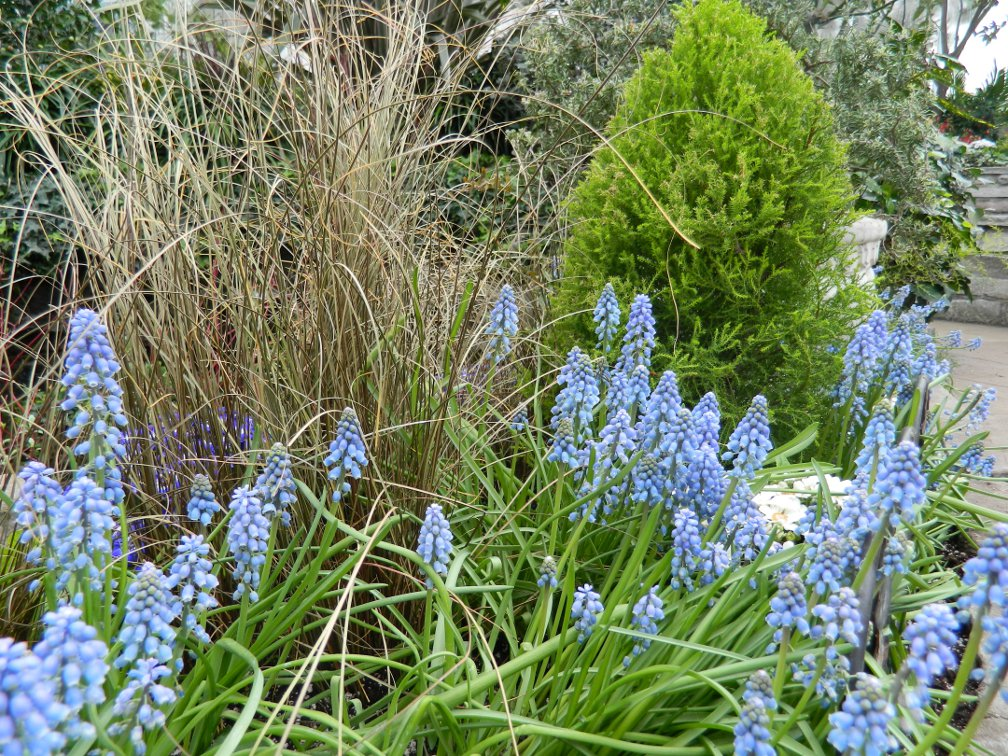Light blue muscari and brown sedge combination at the Toronto Allan Gardens Conservatory Spring Flower Show 2013 by garden muses: a Toronto gardening blog