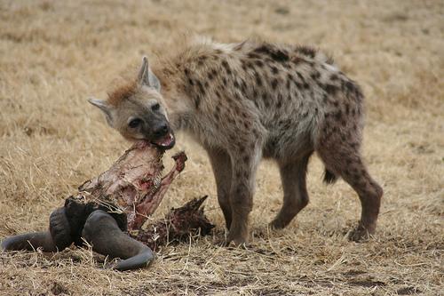 Resultado de imagem para Hiena carniceira