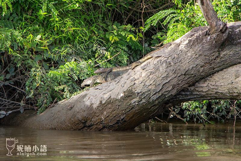 【沙巴KKday行程推薦】Kawa Kawa長鼻猴 & 螢火蟲雨林秘境探險