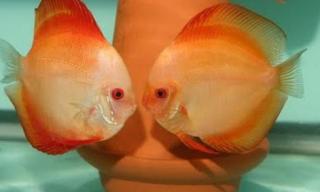 Perbedaan jenis klamin ikan discus jantan dan betina