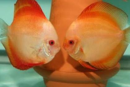 Inilah Perbedaan Ikan Discus Jantan dan Betina