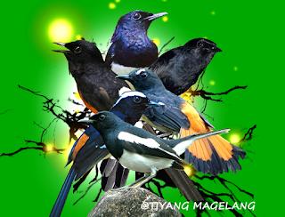 Download mp3 suara burung murai lengkap