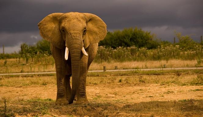 Sang Gajah memijak mati seorang manusia.