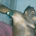 Kisah Orangutan di Kalimantan Dijadikan Pelacur untuk Manusia