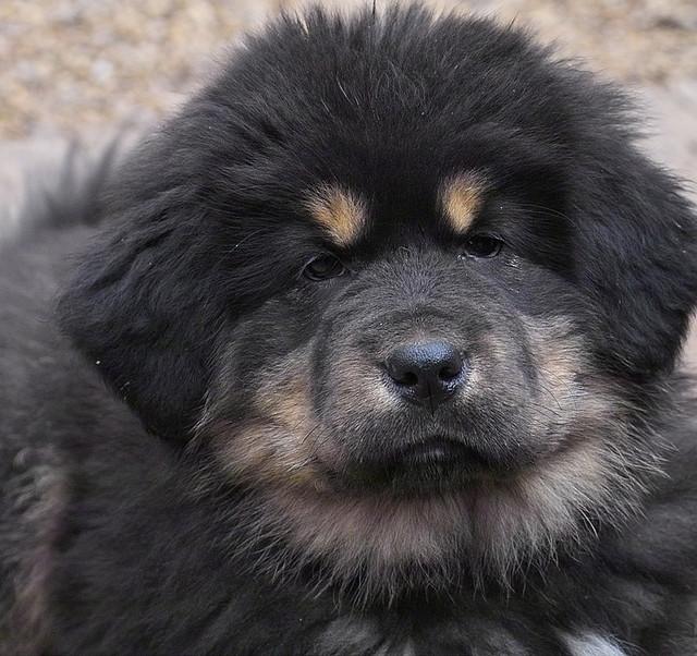 most expensive dog breed maret 2014   lowongan kerja 2014