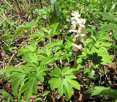 Kukułka bzowa, storczyk bzowy (Dactylorhiza sambucina)