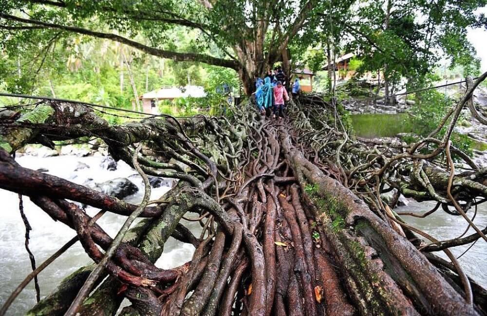جسر من جذور الأشجار، أندونيسيا