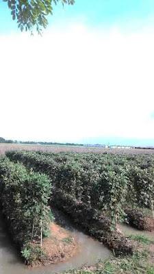 Tanah Murah 4Ha Wanasari Cibitung Bekasi Cocok Untuk Perumahan 200Ribu/meter