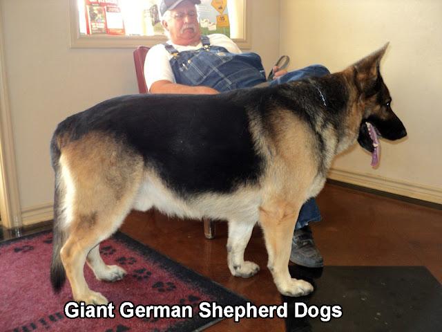 Giant German Shepherd Dogs