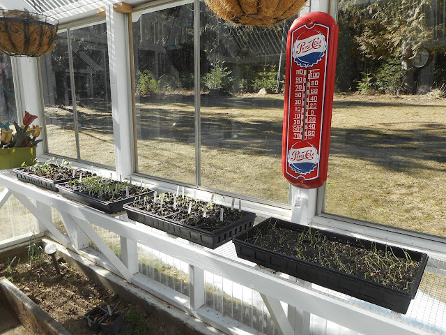 seedling starter trays in the greenhouse on a sunny February day