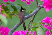 Hướng dẫn cách phòng bệnh cho chim chào mào