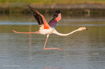 Flamingo Taking Off  - Diep River Woodbridge Island  : Canon EOS 7D Mark II / 400mm Lens