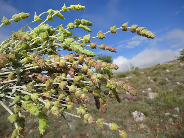 Mountain tea - Macedonian tea - Sideritis scardica – improves appetite, fights colds and flu
