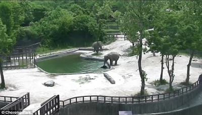 Incredible moment two adult elephants work together to save a drowning baby elephant after it slipped into a pool at the zoo