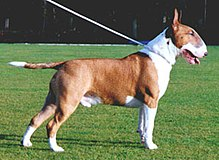 Bull Terrier-dogs-pets-dog breeds