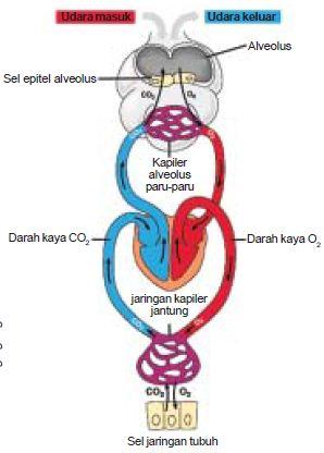 Tempat Pertukaran Oksigen Dan Karbondioksida : tempat, pertukaran, oksigen, karbondioksida, Proses, Mekanisme, Difusi, Pertukaran, Oksigen, Karbondioksida, Dalam, Alveolus, Materiedukasi.com