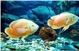 Ikan Hias Air Tawar Termahal Induk Oscar