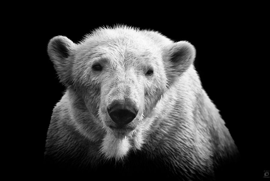 6. Polar Bear on Black by Christian Meermann