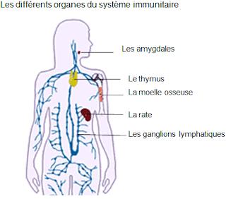Les organes du système immunitaire