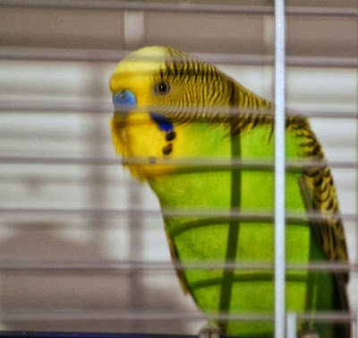Focus On Life ~ Week 40: Give us a Smile! The Australian Budgie :: All Pretty Things