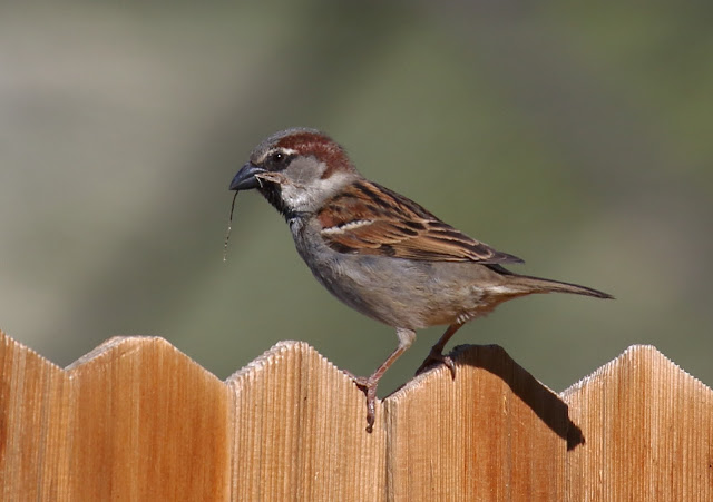 Male House Sparrow carrying nesting material