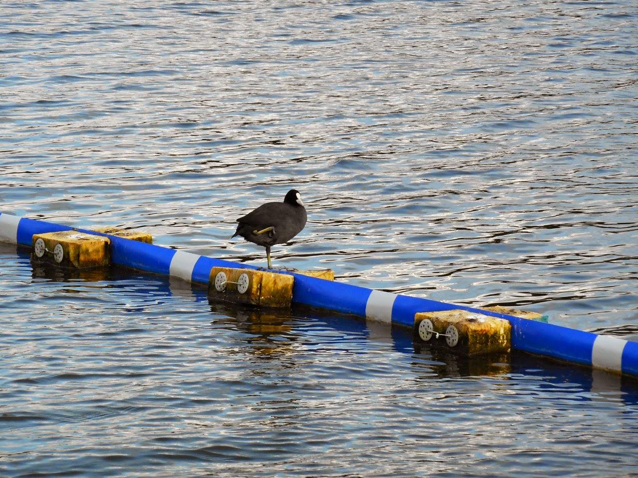 ptaki wodne, wypoczynek, woda, jezioro wojnowskie