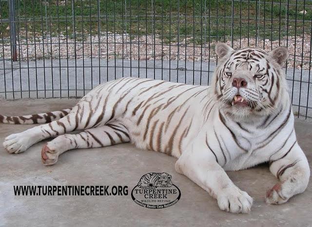 بالصور والفيديو.. أقبح نمر أبيض على مستوى العالم
