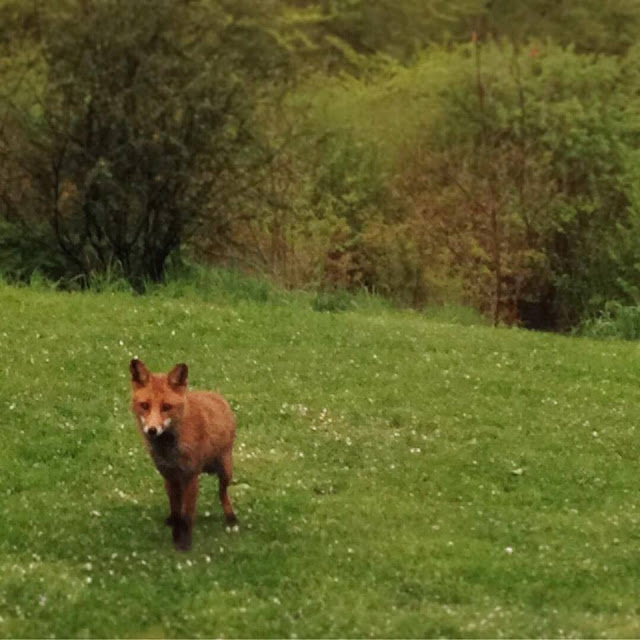 fox, nature, forests, woods, de tout coeur limousin, retreat, creuse, royere de vassiviere, monsieur renard, garden. wildlife, spring time, printemps, happy May, springwatch, rural France, holidays. retreats, creative, well being, wellness, photography,