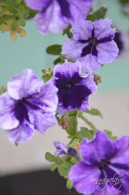 Цветение петунии прекрасное зрелище