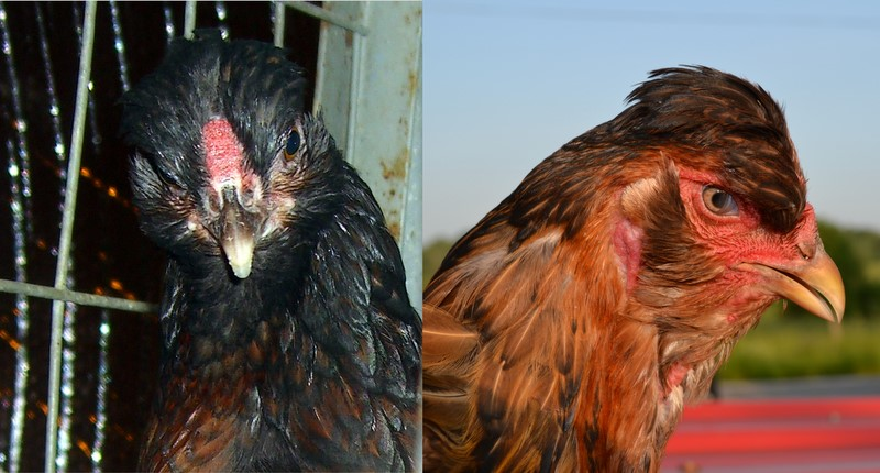 Origin of the Domestic Fowl: The Beard and Muffs
